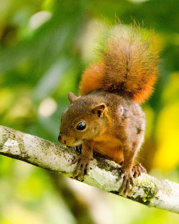 Una ardilla no identificada en Ecolodge San Jorge de Milpe | © Angela Drake