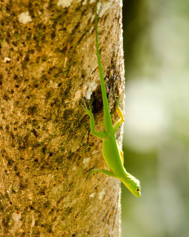 Una lagartija anole no identificada vista en el Ecolodge San Jorge de Milpe | © Angela Drake