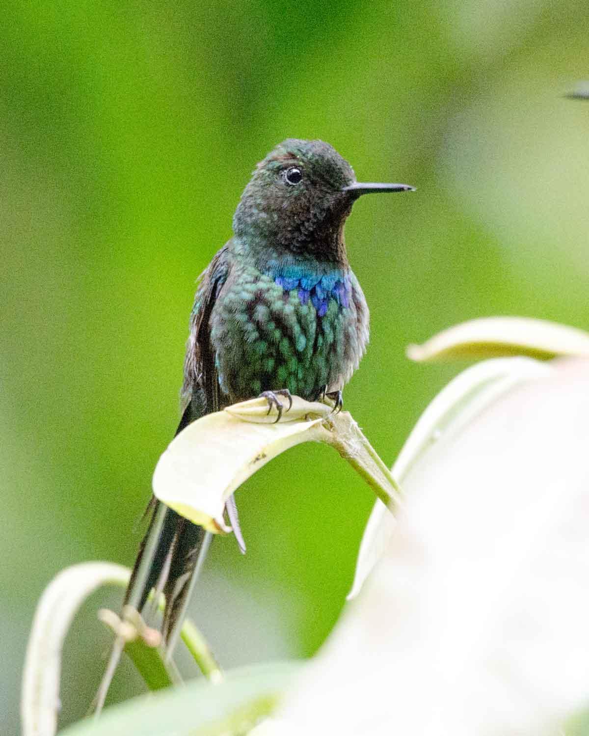Un colibrí Colicerda Verde visto en la Fundación Mindo Cloud Forest | © Angela Drake