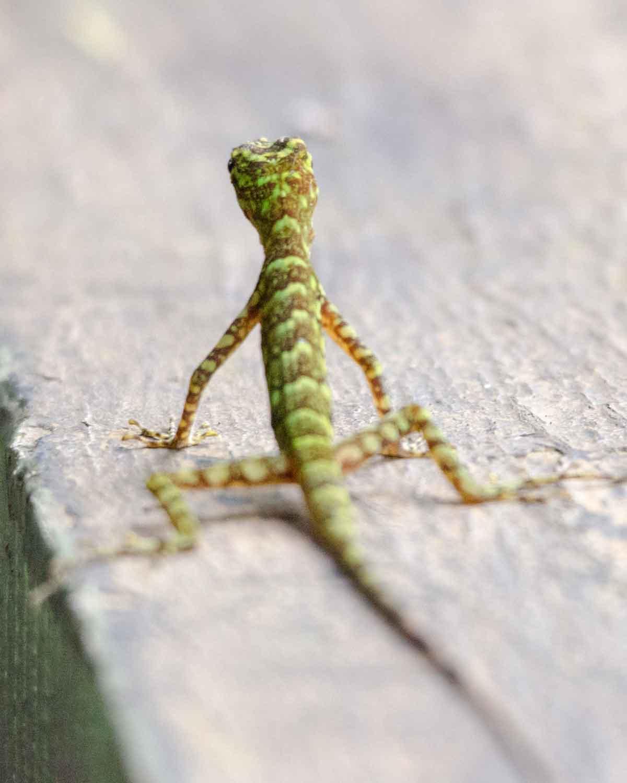 Una lagartija no identificada vista en la Fundación Mindo Cloud Forest | © Angela Drake