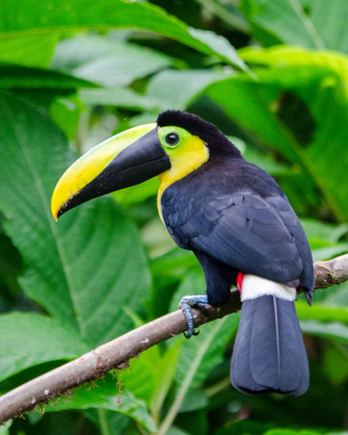 The endemic Choco Toucan seen at the Mindo Cloud Forest Foundation | ©Angela Drake