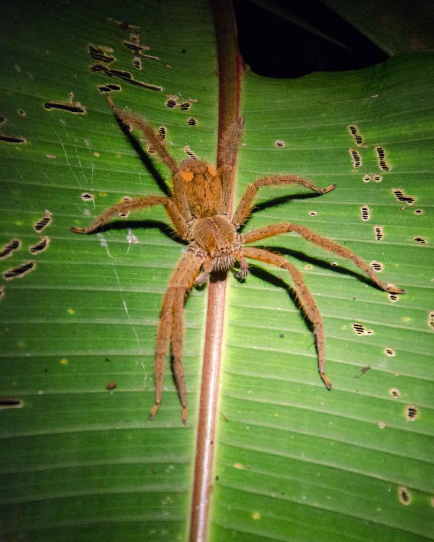 Una araña tarántula no identificada vista en el Ecolodge San Jorge de Milpe | © Angela Drake