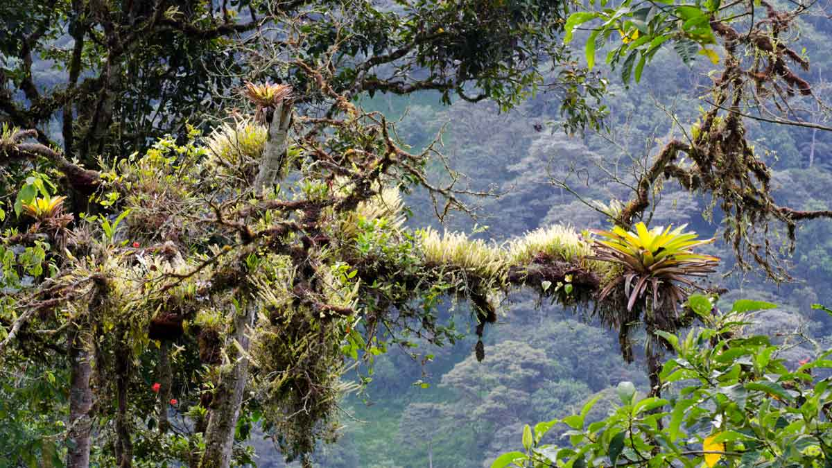A tree limb covered with epiphytes, Tandayapa Valley, Ecuador | ©Angela Drake