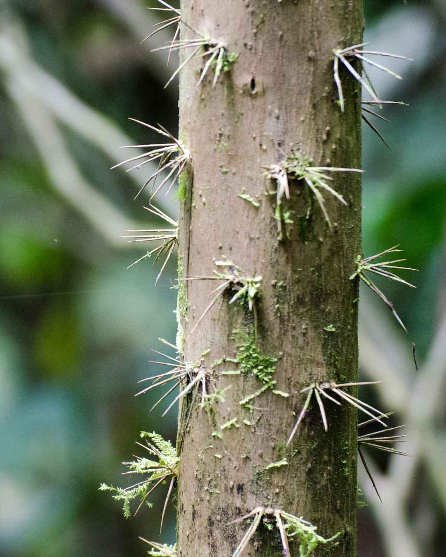 Ejemplo de espinas en un árbol en los bosques nubosos del Chocó Andino, Ecuador | © Angela Drake