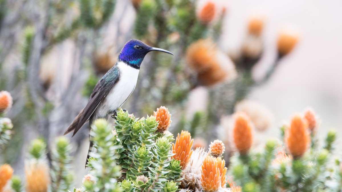 Star of Chimborazo hummingbird perched on chuquiragua, Chimborazo Wildlife Preserve, Ecuador | ©Angela Drake