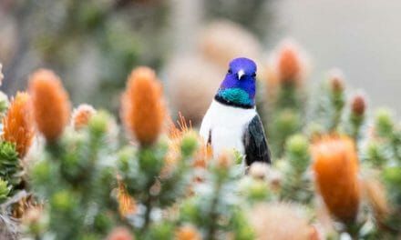 The Iconic Star of Chimborazo Hummingbird