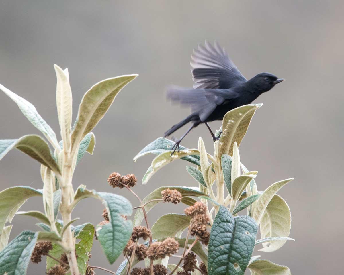 Black Flowerpiercer, Tambo Condor, Ecuador | ©Angela Drake