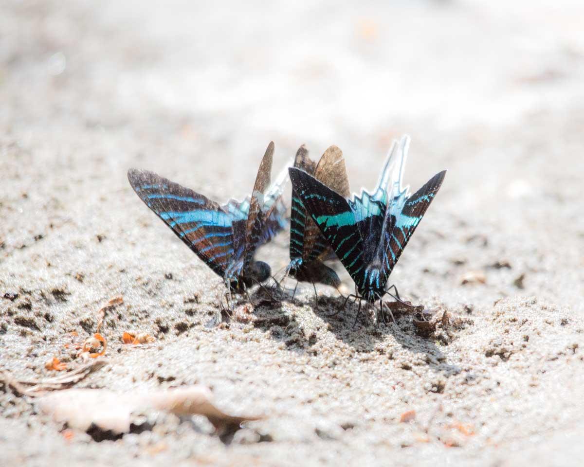 Swallow Tail Butterflies, Lower Cuyabeno, Cuyabeno, Ecuador | ©Angela Drake