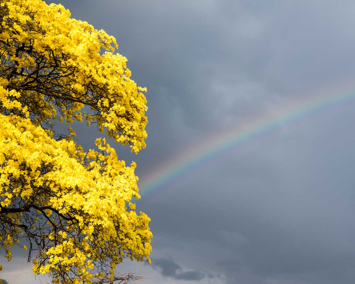The yellow of the Guayacan competes with a rainbow; Mangahurco, Ecuador | ©Angela Drake