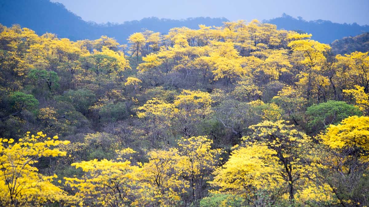 A Forest of Guayacanes; Mangahurco, Ecuador | ©Angela Drake