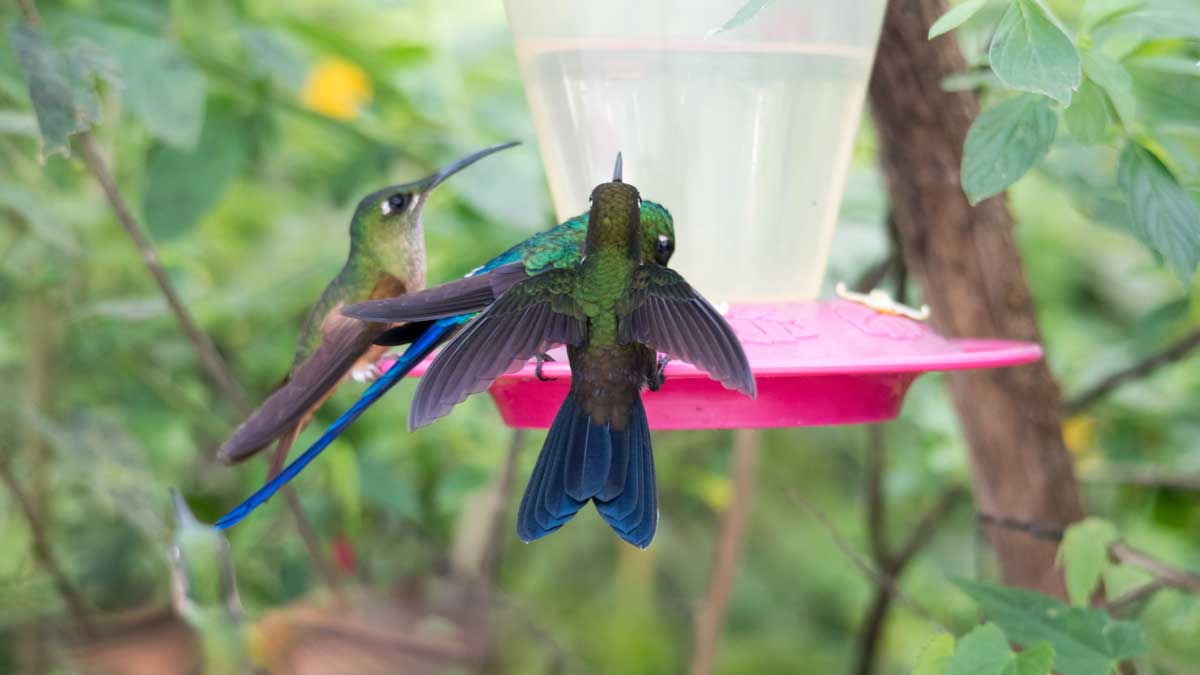 At the Hummingbird Feeder, Birdwatcher's House, Santa Rosa de Mindo, Ecuador | ©Angela Drake