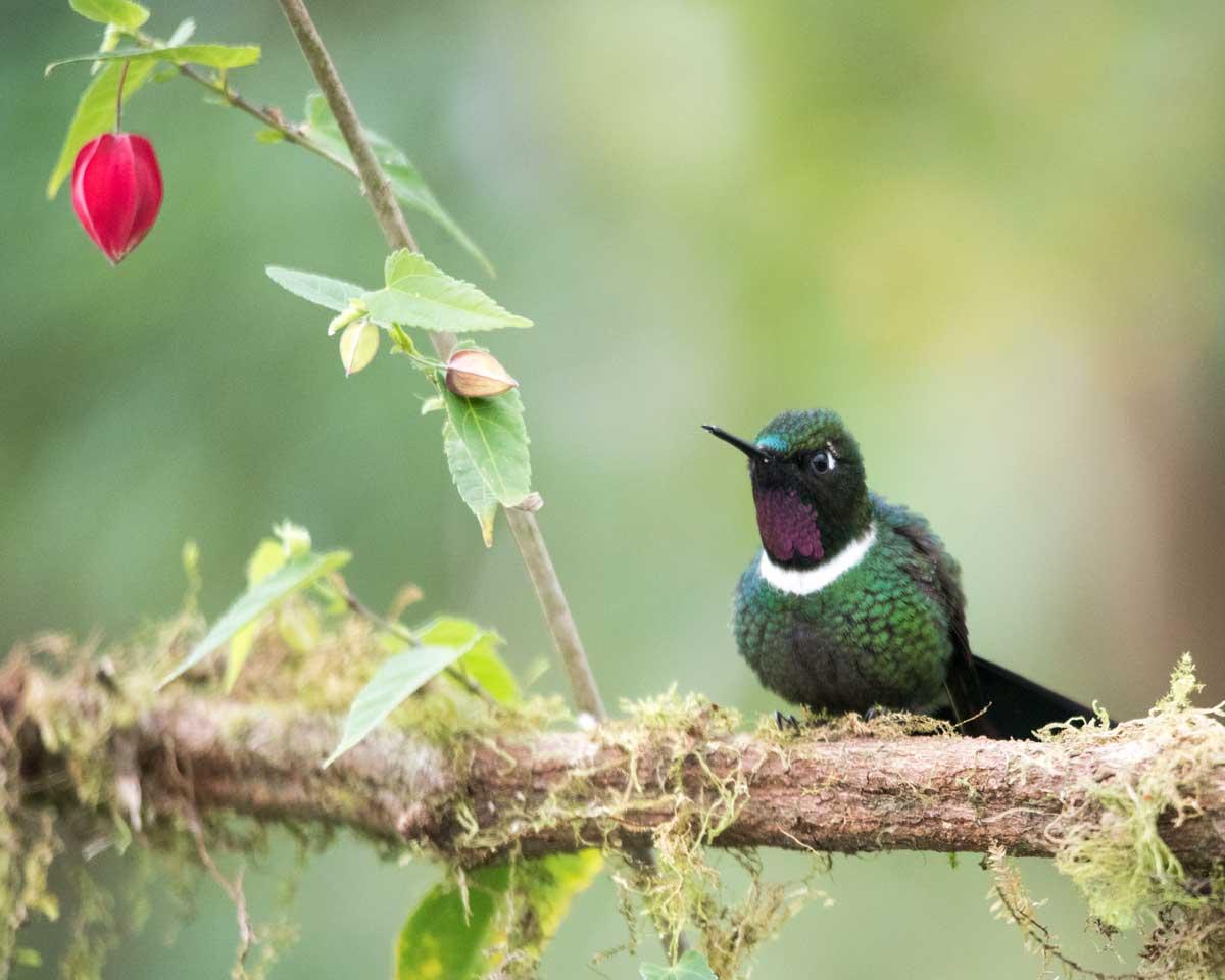 Gorgeted Sunangel, Birdwatcher's House, Santa Rosa de Mindo, Ecuador | ©Angela Drake