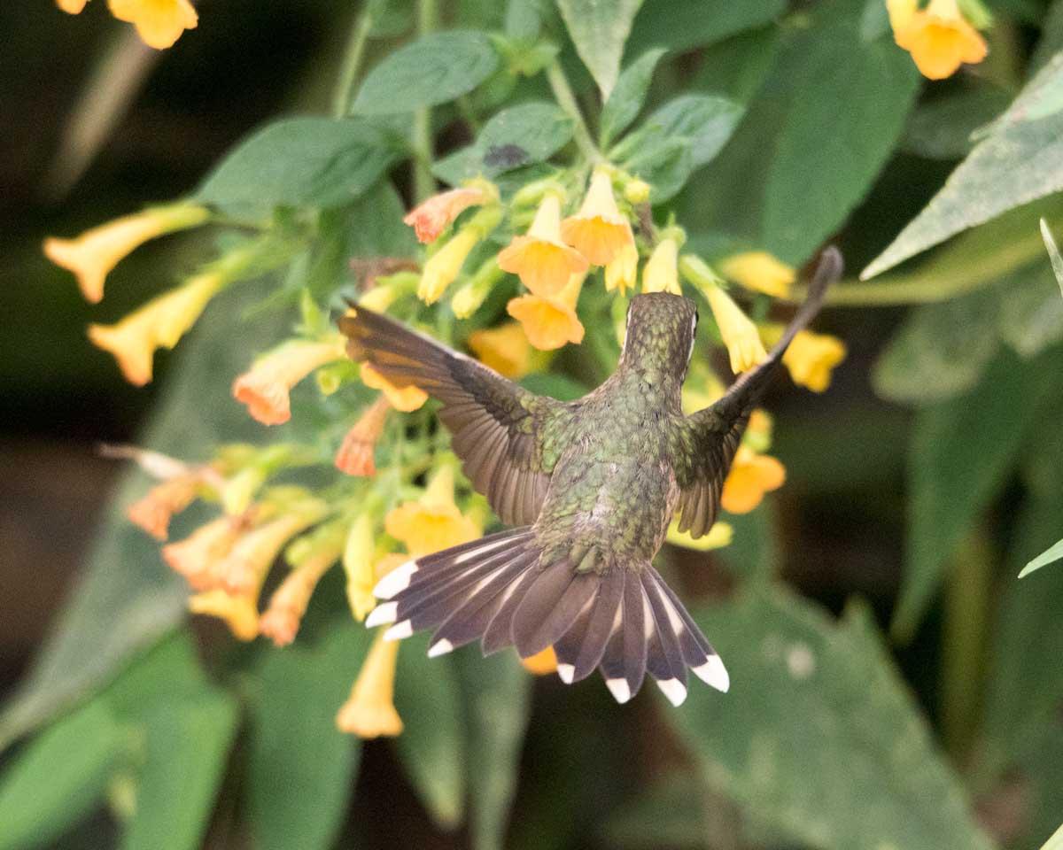 A Speckled Hummingbird, Birdwatcher's House, Santa Rosa de Mindo, Ecuador | ©Angela Drake