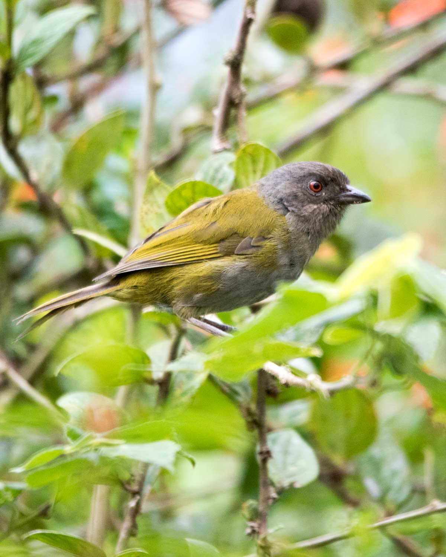 Dusky Chlorospingus, Birdwatcher's House, Santa Rosa de Mindo, Ecuador | ©Angela Drake