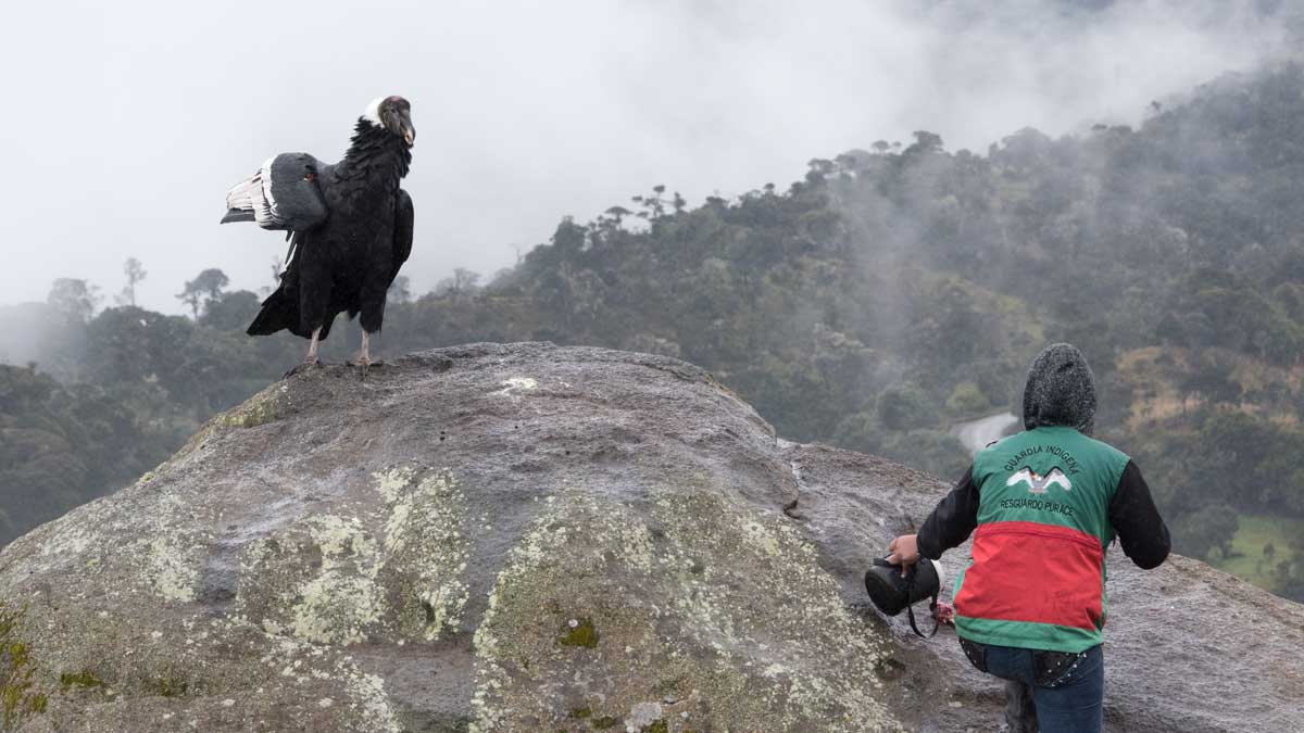 Feeding the Female Andean Condor, Purace, Colombia | ©Angela Drake