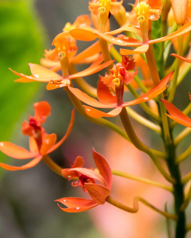 Flor de Cristo Orchid, Copalinga, Ecuador | ©Angela Drake