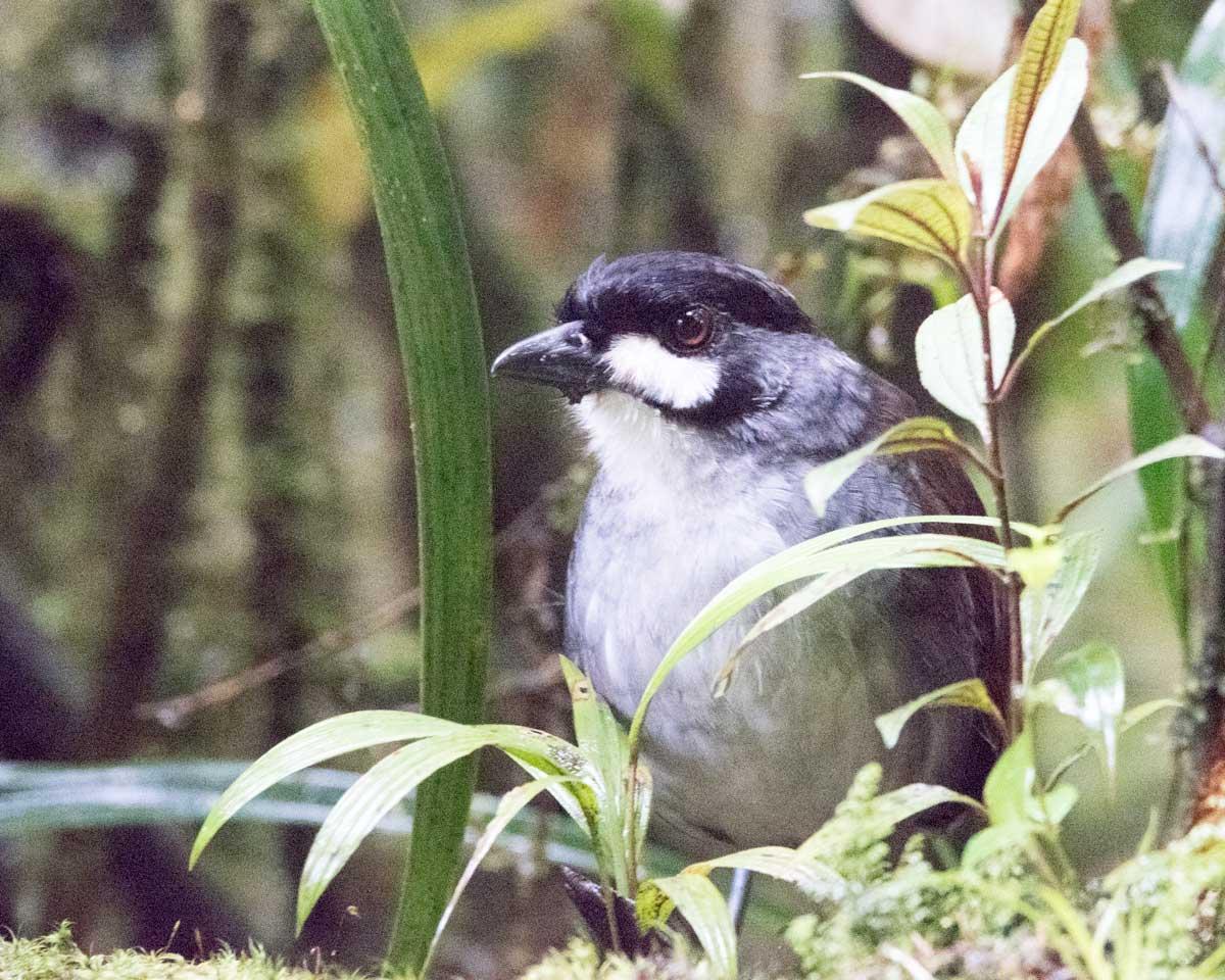 The Jocotoco Antpitta, Tapichalaca Reserve, Southern Ecuador | ©Angela Drake