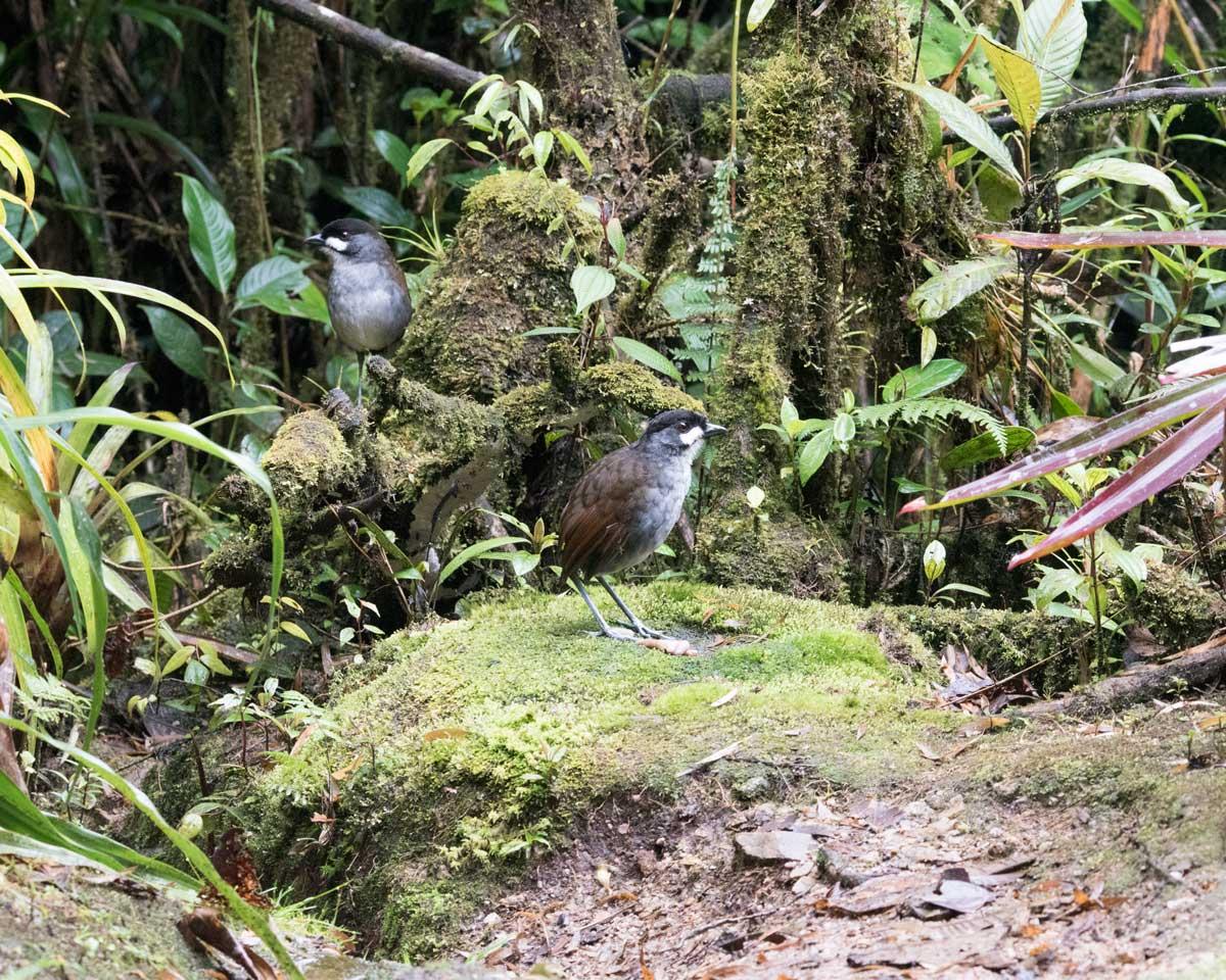 A Pair of Jocotoco Antpittas, Tapichalaca Reserve, Southern Ecuador | ©Angela Drake