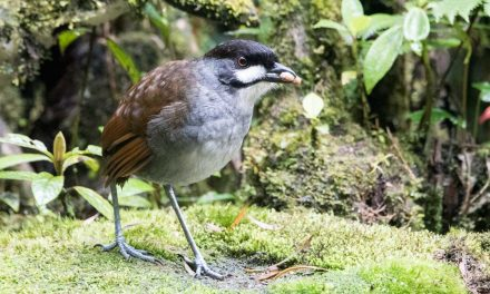 The Quirky Jocotoco Antpitta