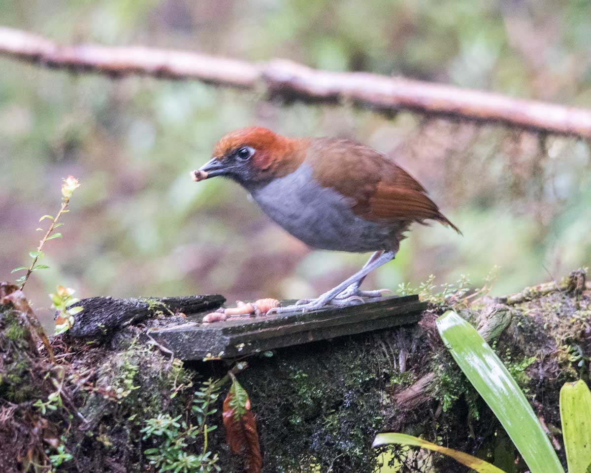 Chestnut-naped Antpitta, Tapichalaca Reserve, Ecuador | ©Angela Drake