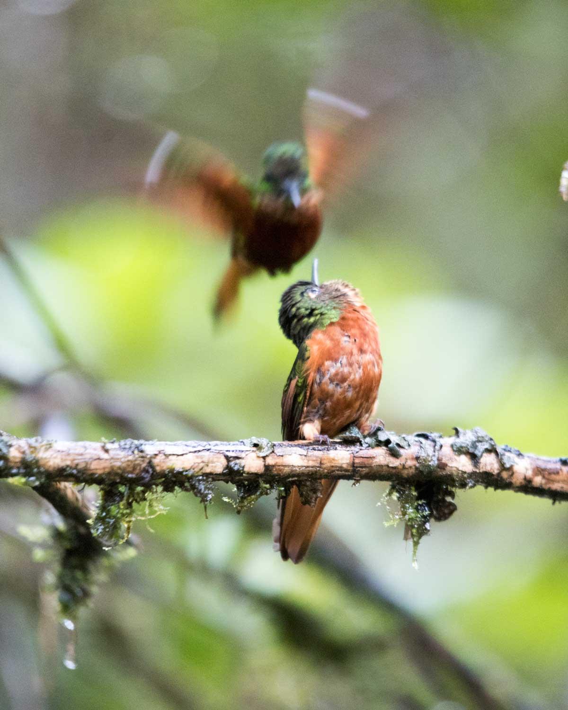 Chestnut-breasted Coronets, Tapichalaca Reserve, Ecuador | ©Angela Drake