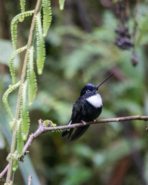 Collared Inca, Tapichalaca Reserve, Ecuador | ©Angela Drake