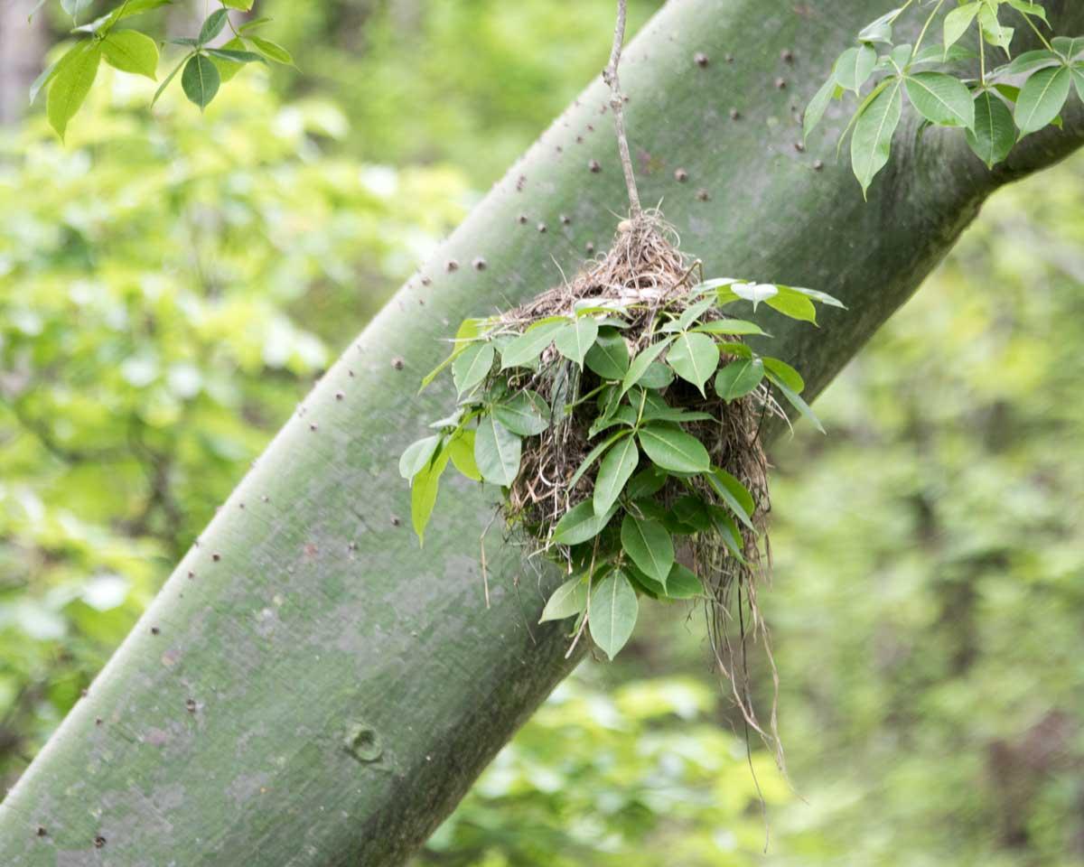 Slated Becard Bird Nest, Jorupe Reserve, Ecuador | ©Angela Drake