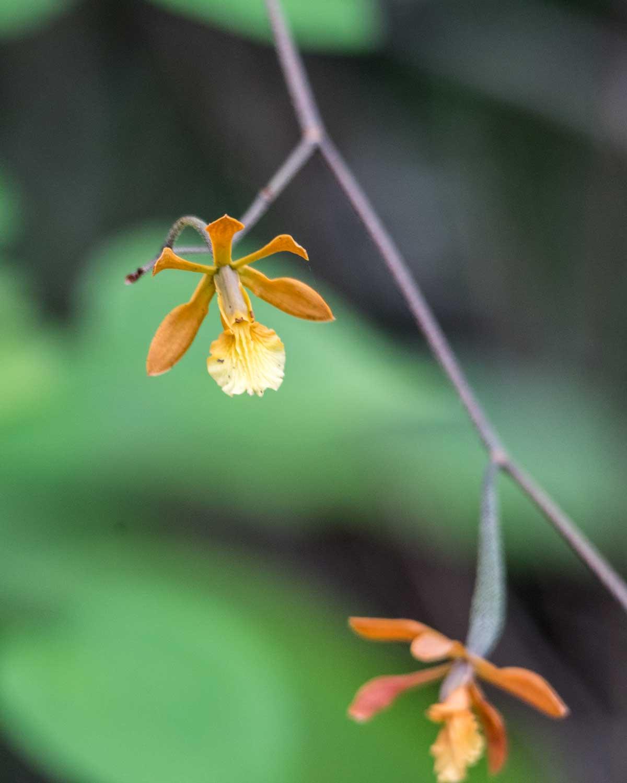 Wild Orchid, Jorupe Reserve, Ecuador | ©Angela Drake