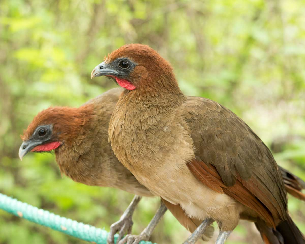 Rufous-headed Chachalaca, Jorupe Reserve, Ecuador | ©Angela Drake