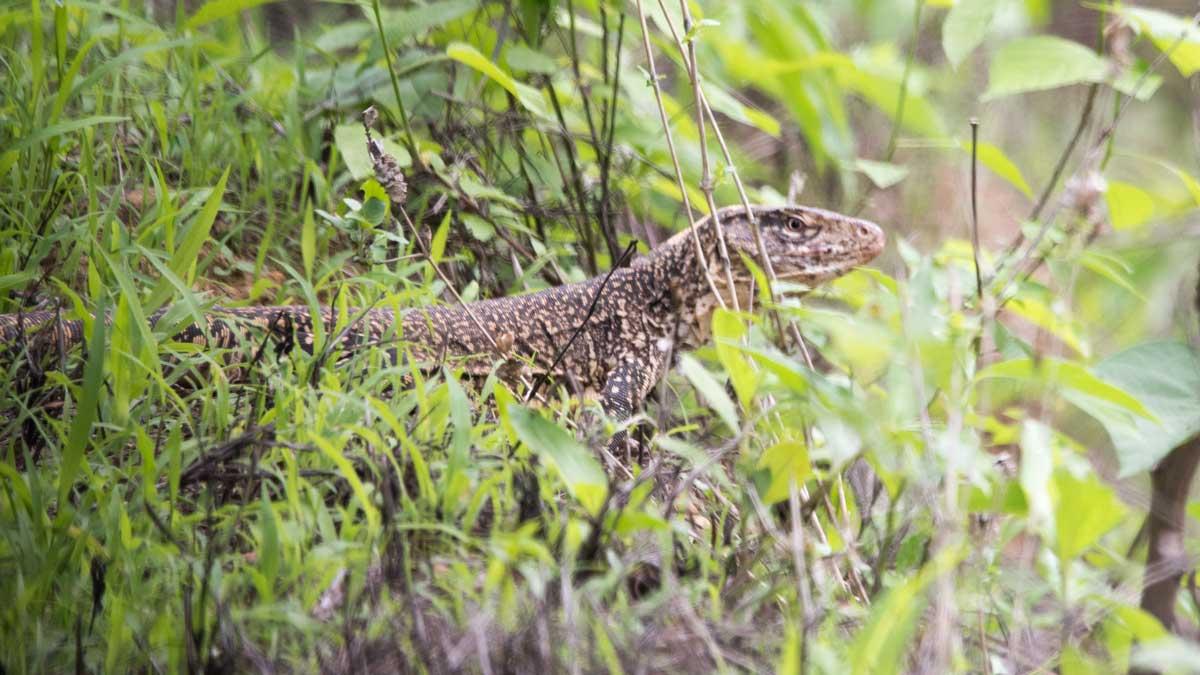 Gigantic Lizard, Jorupe Reserve, Ecuador | ©Angela Drake