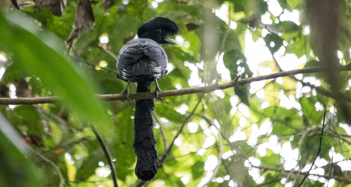 The Bizarre Umbrellabird