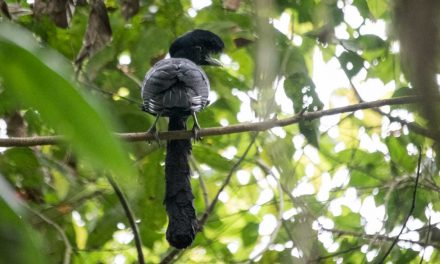 The Bizarre Umbrellabird