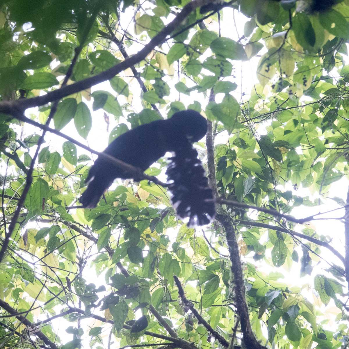 The Long-wattled Umbrellabird displaying in the lek; Buenaventura Reserve, Ecuador | ©Angela Drake