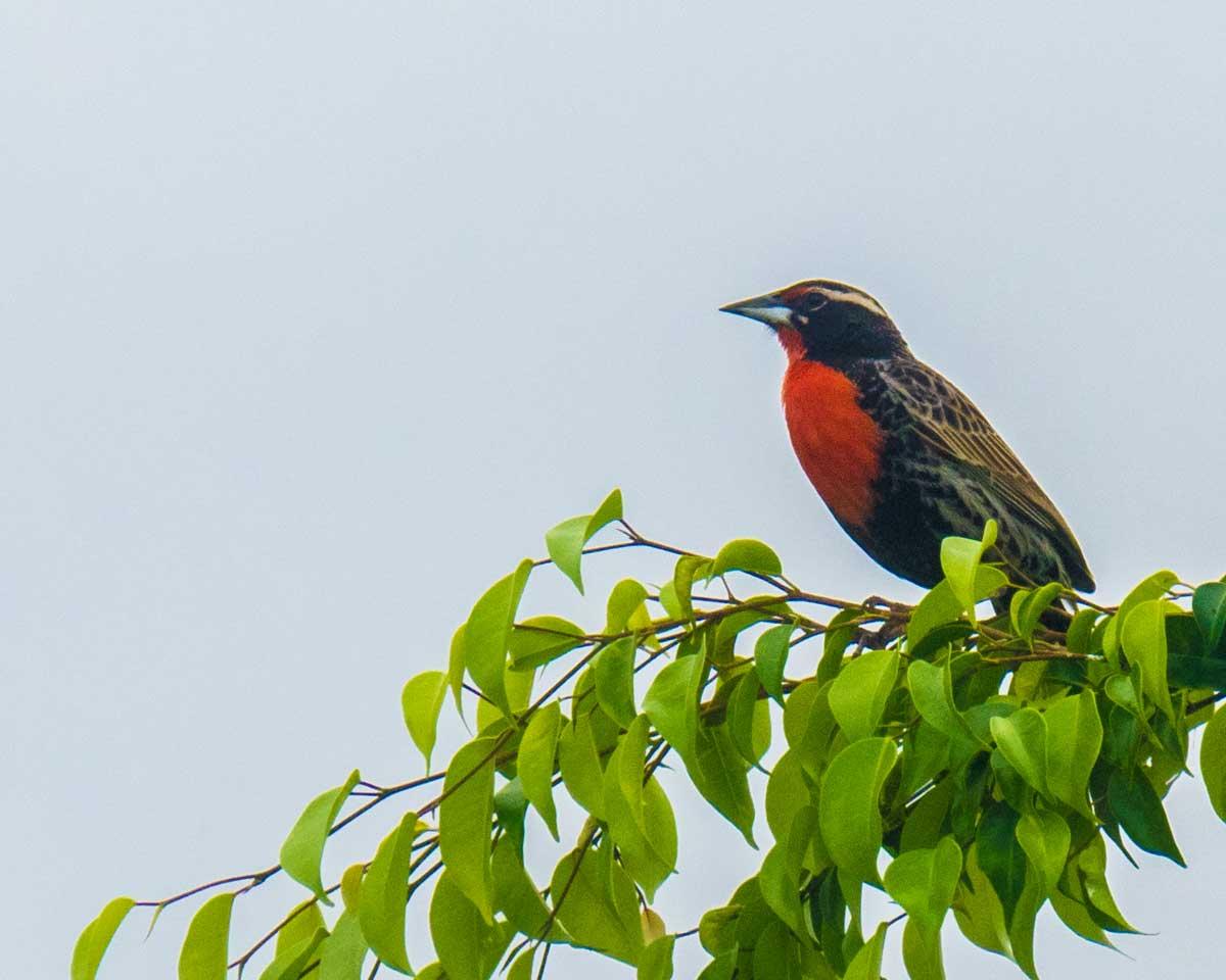 Guayaquil Squirrel, Jorupe Reserve, Ecuador | ©Ernest Scott Drake