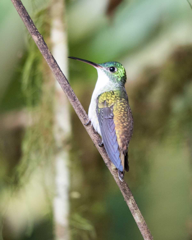Female Andean Emerald Hummingbird, Hummingbird Garden, Piñas, Ecuador | ©Angela Drake