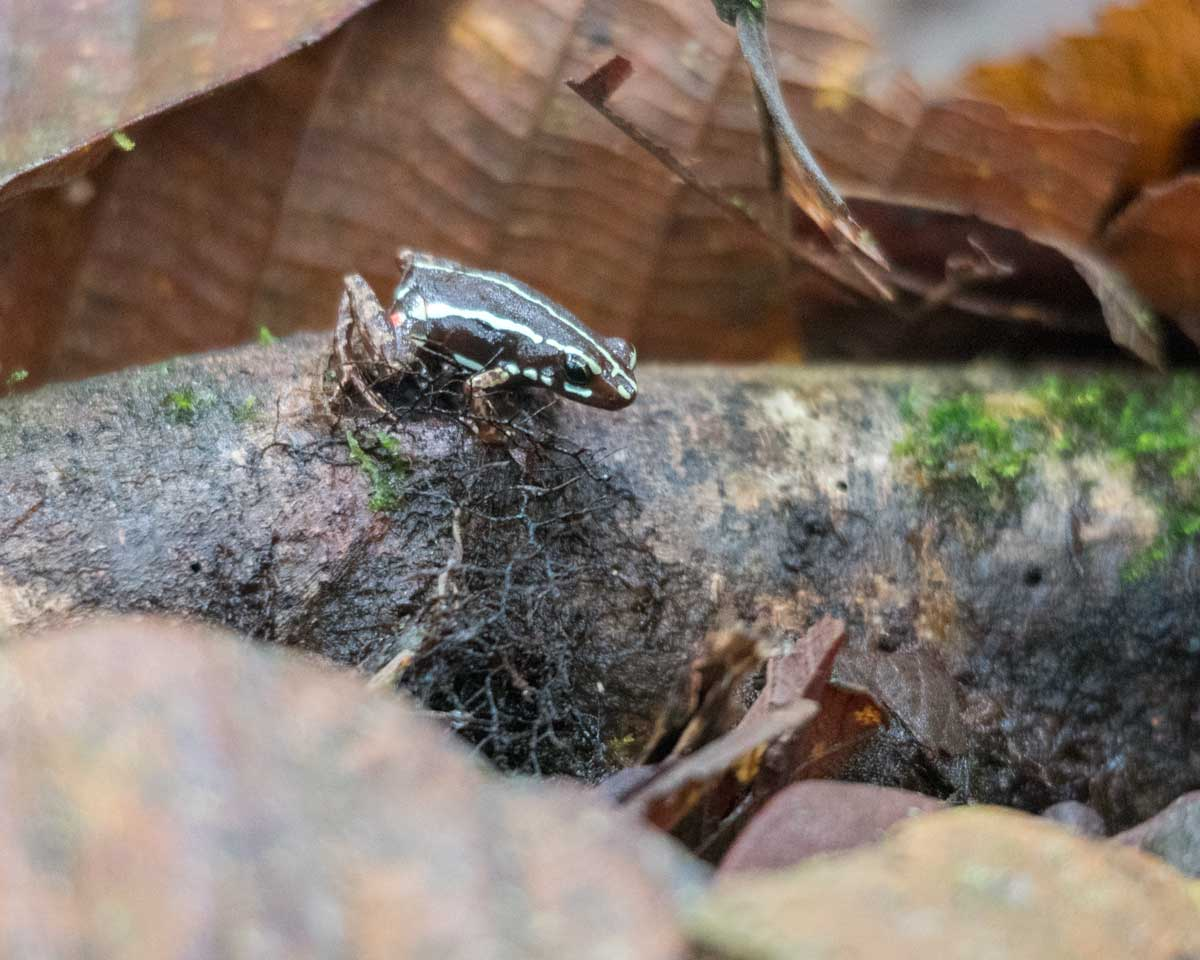 Unidentified Frog, Scientific Research Station, Buenaventura Reserve, Ecuador | ©Angela Drake