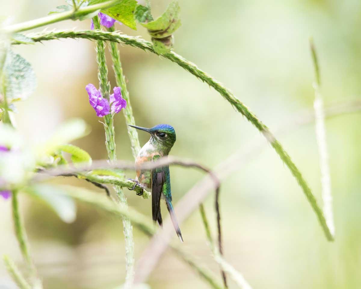 Female Violet-tailed Sylph, Hummingbird Garden, Piñas, Ecuador | ©Angela Drake