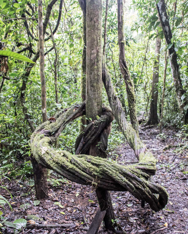 Ayahuasca Vine, Labyrinth Hiking Trail, Nangaritza, Ecuador | ©Angela Drake