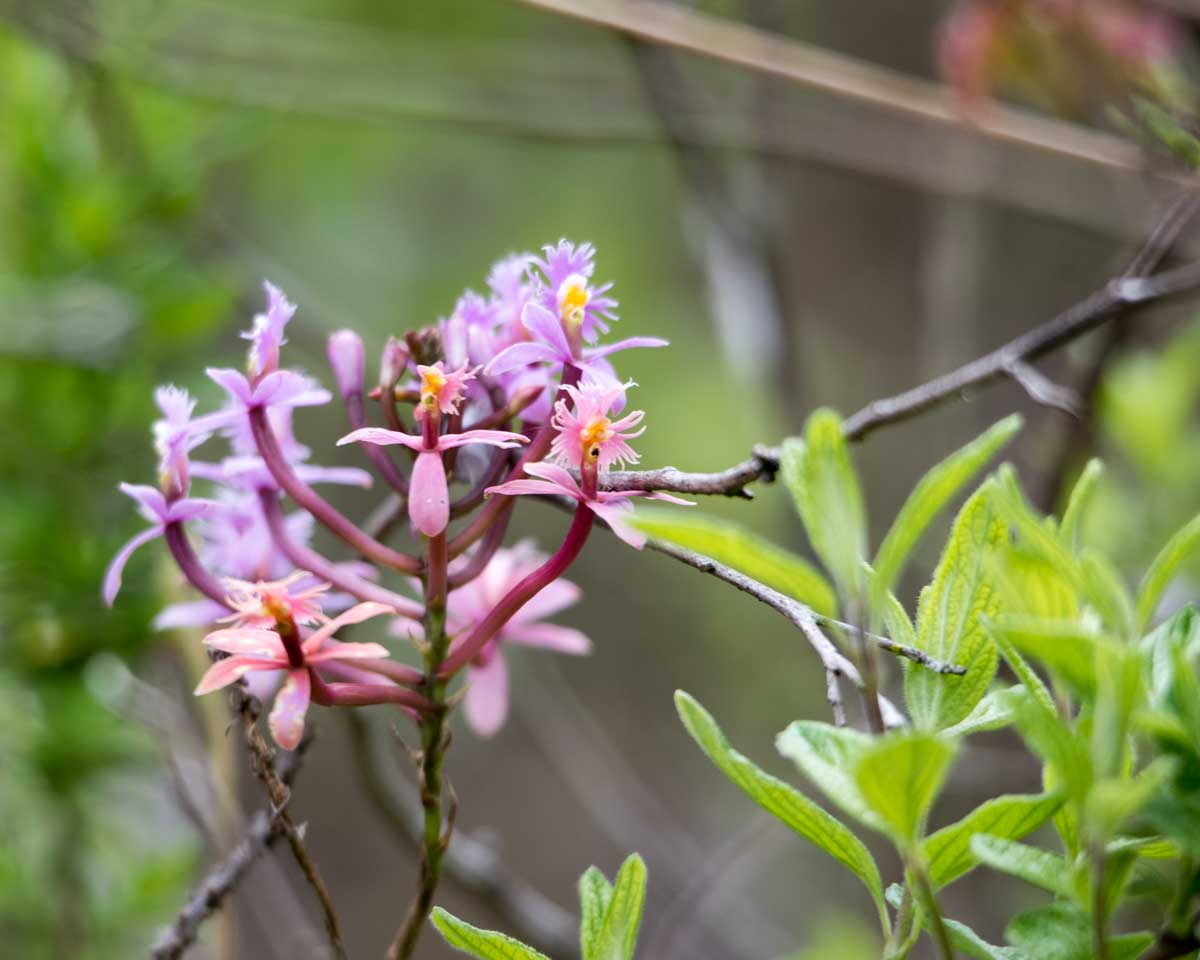 Orchid on the Black Cave Trail, Chobshi, Sigsig, Ecuador | ©Angela Drake