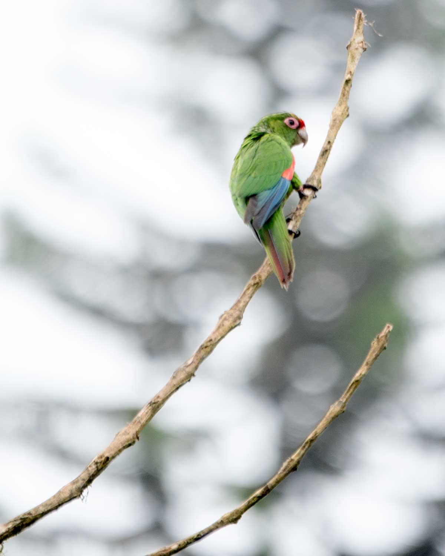 El Oro Parakeet, Buenaventura Hacienda, Ecuador | ©Angela Drake