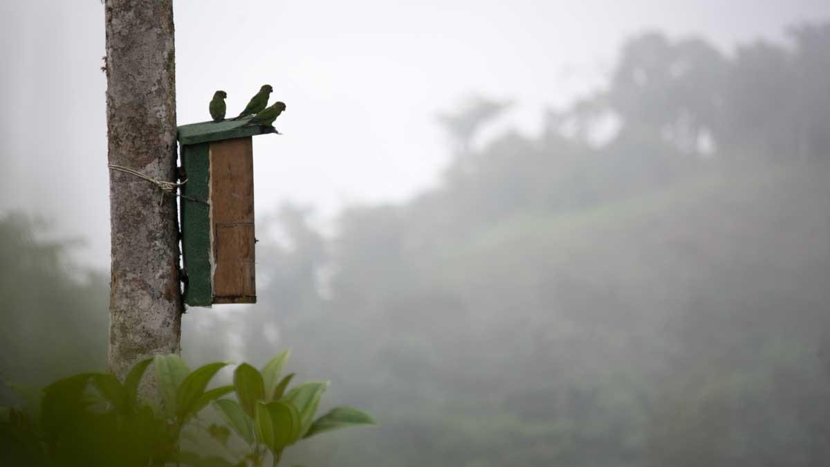 El Oro Parakeets on the box, Buenaventura Hacienda, Ecuador | ©Angela Drake