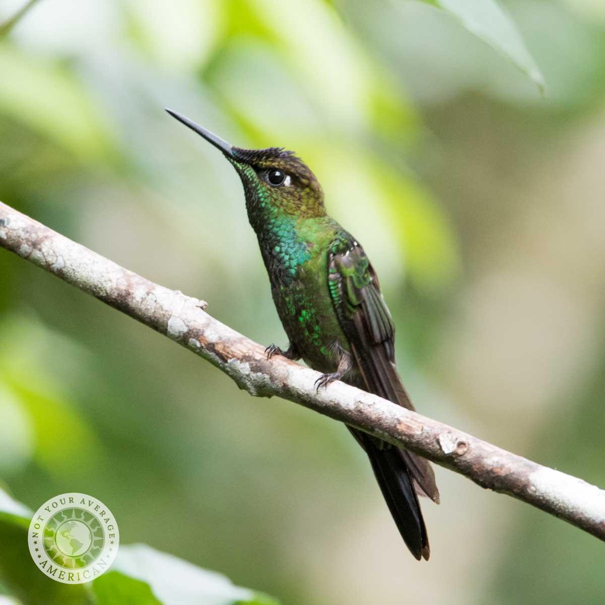 Green Crowned Brilliant, Buenaventura Reserve, Piñas, Ecuador | ©Angela Drake