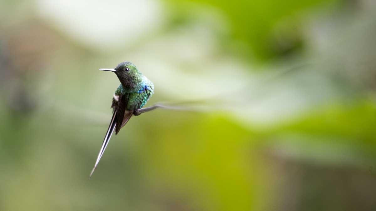 Green Thorntail Hummingbird, Hummingbird Garden, Piñas, Ecuador | ©Angela Drake