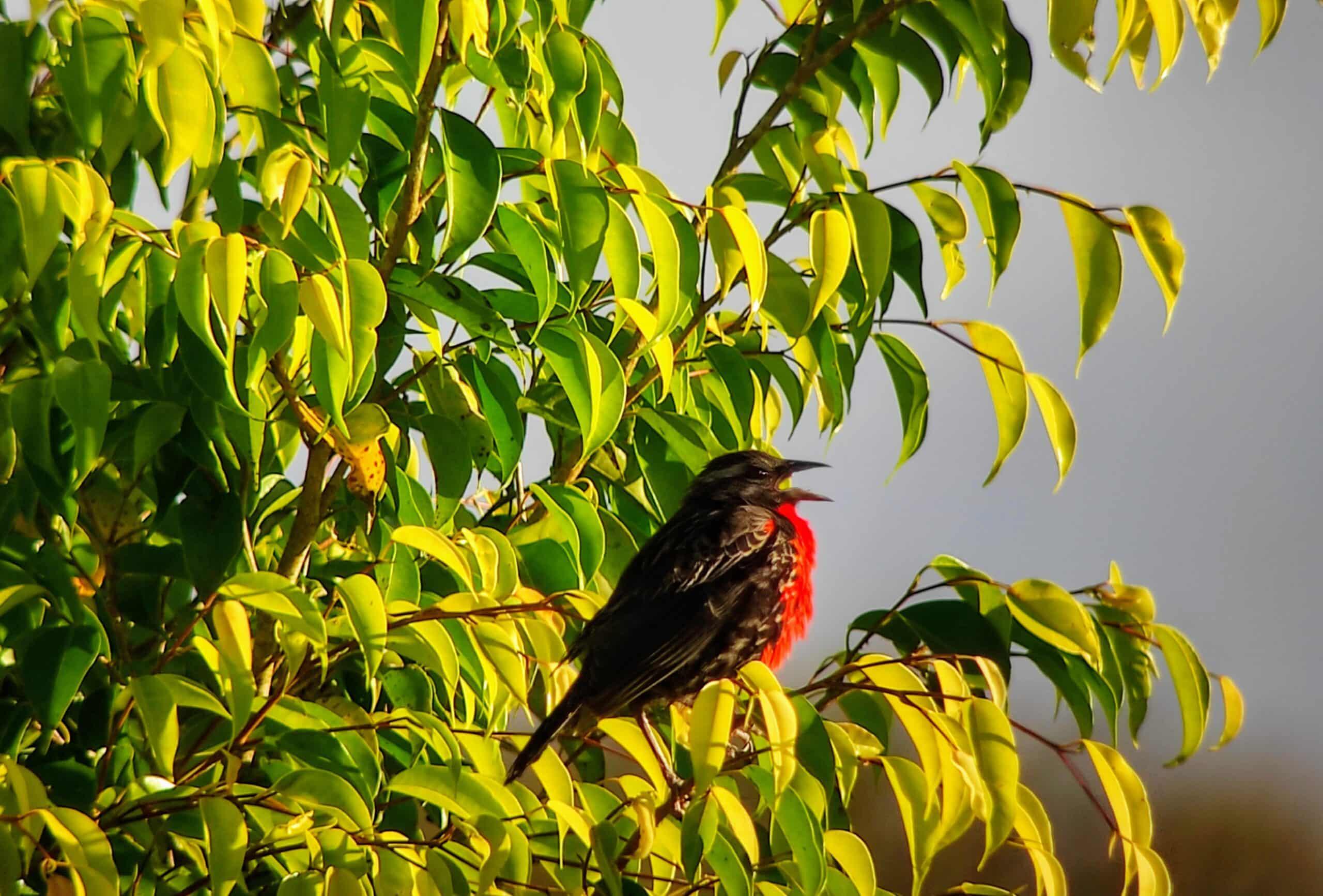 Pastorero pechirojo/Red breasted Black bird, Provincia de Napo| ©Jacqueline Granda