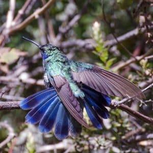 Un colibrí con plumas brillantes azules