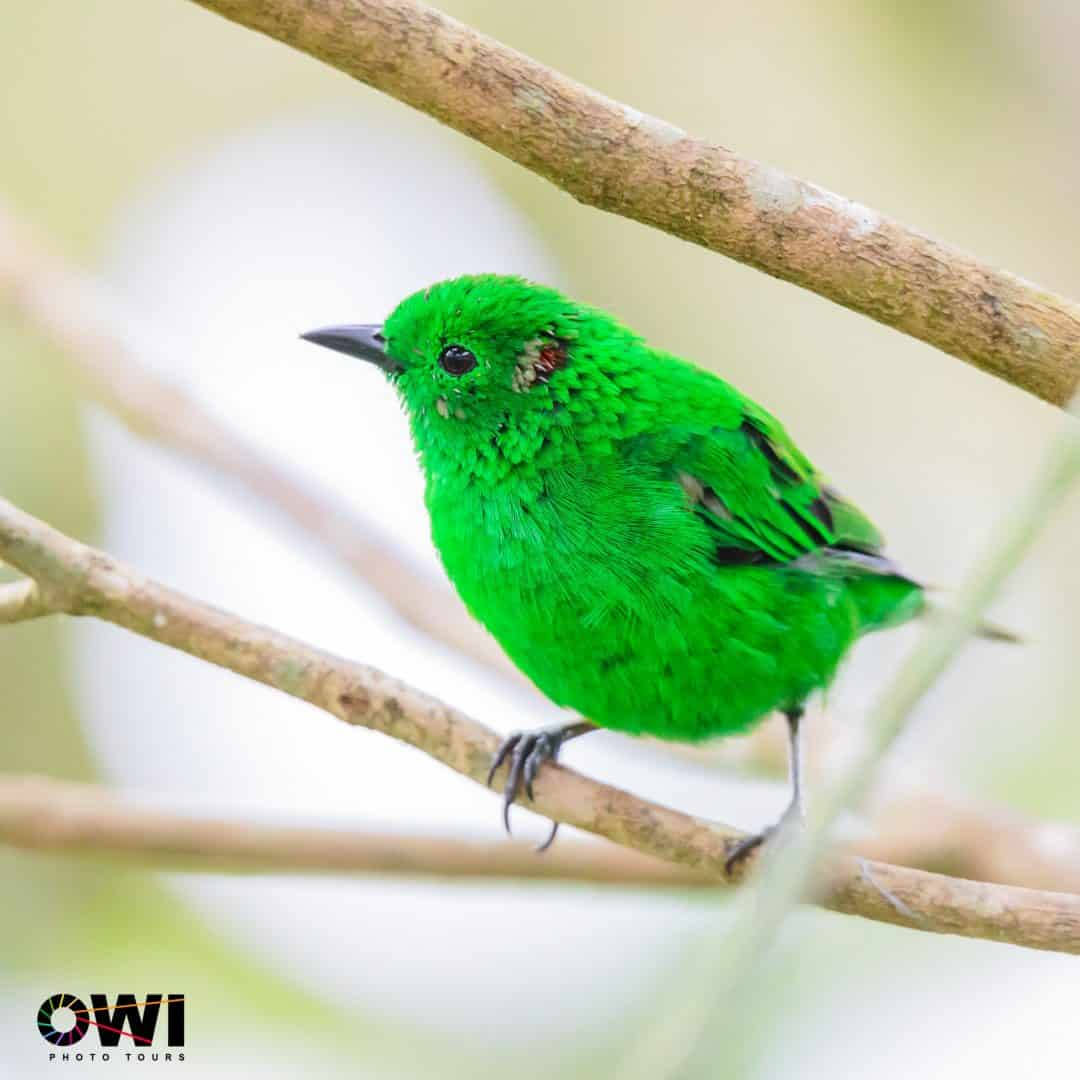 Glistening-green Tanager  ©Oswaldo Ponce